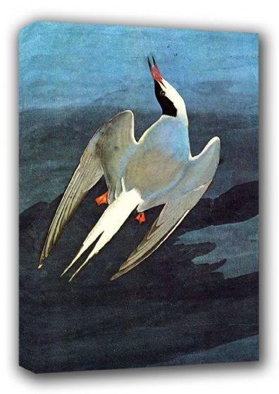 Audubon, John James: Arctic Tern. (Ornothology/Bird) Fine Art Canvas. Sizes: A3/A2/A1 (00662)